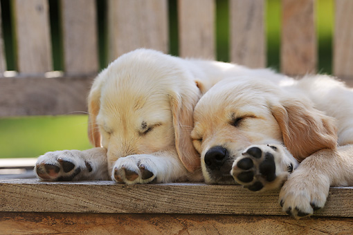 PUP 08 SS0015 01 © Kimball Stock Close-Up Of Two Golden Retriever Puppies Sleeping On Deck