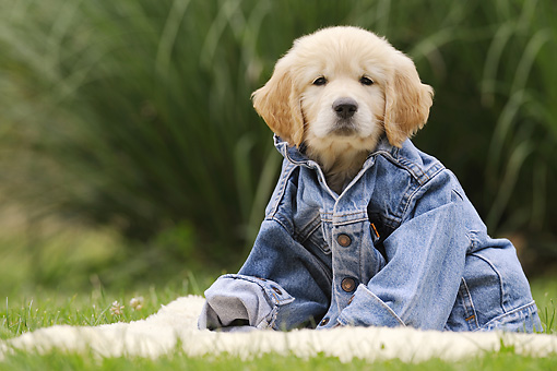 PUP 08 SS0018 01 © Kimball Stock Golden Retriever Puppy Wearing Denim Jacket On Grass