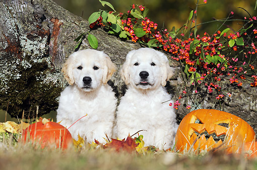 PUP 08 SS0020 01 © Kimball Stock Two Golden Retriever Puppies Sitting By Pumpkins And Autumn Leaves