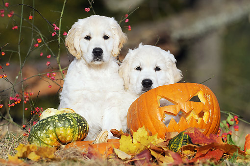 PUP 08 SS0021 01 © Kimball Stock Two Golden Retriever Puppies Sitting By Pumpkins And Gourds
