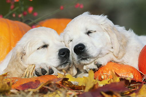 PUP 08 SS0022 01 © Kimball Stock Close-Up Of Two Golden Retriever Puppies Sleeping By Pumpkins
