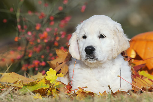 PUP 08 SS0024 01 © Kimball Stock Golden Retriever Puppy Laying By Pumpkin And Autumn Leaves