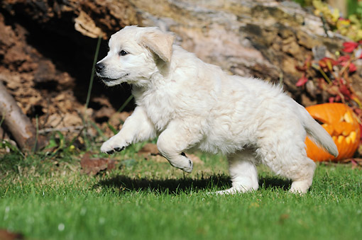 PUP 08 SS0025 01 © Kimball Stock Golden Retriever Puppy Playing On Grass By Jack O'Lantern