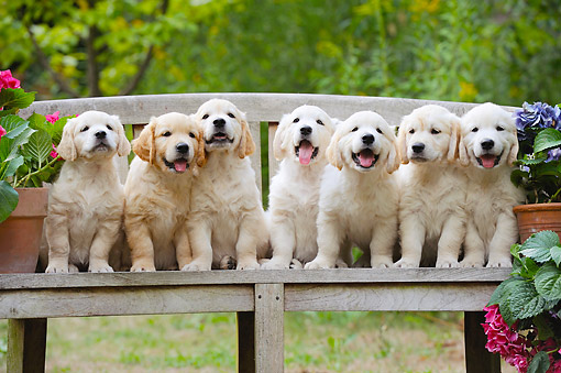 PUP 08 SS0029 01 © Kimball Stock Golden Retriever Puppies Sitting On Bench