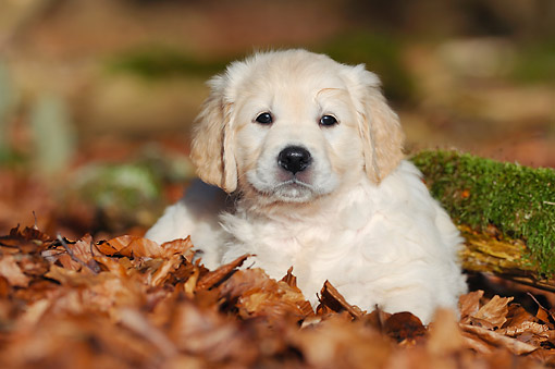 PUP 08 SS0034 01 © Kimball Stock Golden Retriever Puppy Laying In Dry Leaves