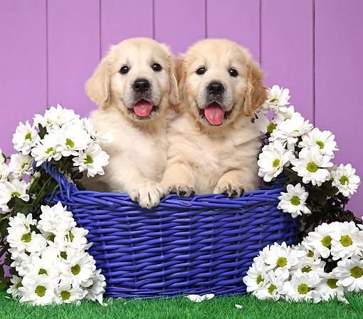 PUP 08 XA0003 01 © Kimball Stock Golden Retriever Puppies Sitting In Basket With Flowers