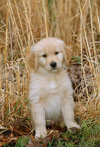 PUP 08 CE0001 01 © Kimball Stock Golden Retriever Puppy Sitting By Tall Grass