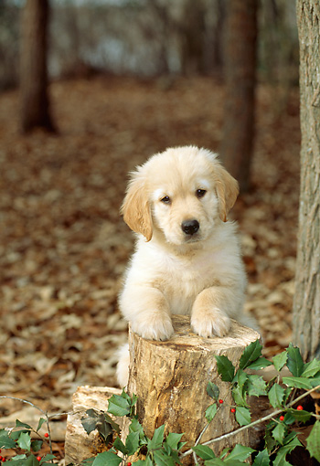 PUP 08 CE0003 01 © Kimball Stock Golden Retriever Puppy Leaning On Stump On Autumn Leaves