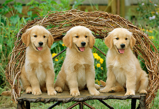 PUP 08 CE0006 01 © Kimball Stock Three Golden Retriever Puppies Sitting On Twig Bench In Garden