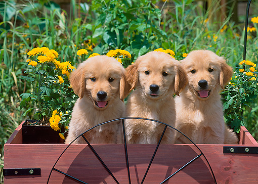 PUP 08 CE0009 01 © Kimball Stock Three Golden Retriever Puppies Sitting In Wooden Cart