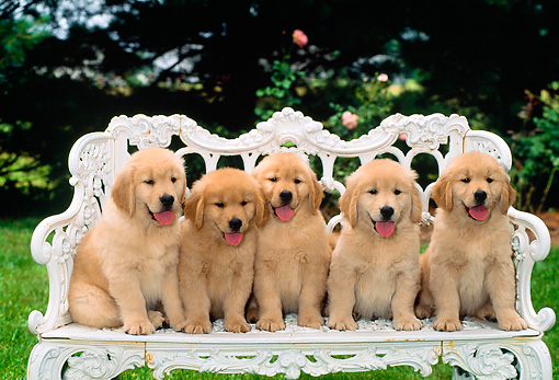 PUP 08 CE0010 01 © Kimball Stock Five Golden Retriever Puppies Sitting On White Iron Bench