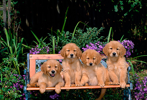 PUP 08 CE0011 01 © Kimball Stock Four Golden Retriever Puppies Sitting On Bench By Purple Flowers