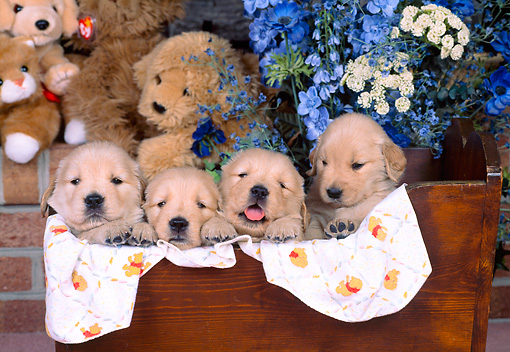 PUP 08 CE0012 01 © Kimball Stock Four Golden Retriever Puppies Peeking From Wooden Cradle By Flowers & Toys