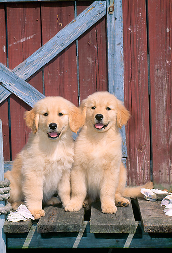 PUP 08 CE0013 01 © Kimball Stock Two Golden Retriever Puppies Sitting On Dock By Boathouse