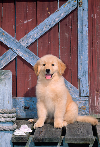 PUP 08 CE0014 01 © Kimball Stock Golden Retriever Puppy Sitting On Dock By Boathouse