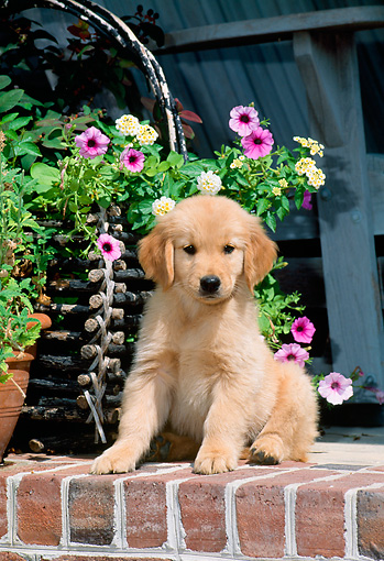 PUP 08 CE0015 01 © Kimball Stock Golden Retriever Puppy Sitting On Brick Wall By Flower Basket