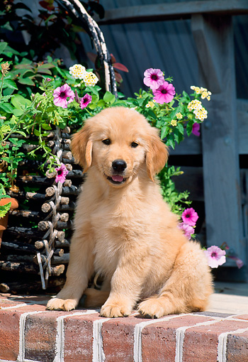 PUP 08 CE0016 01 © Kimball Stock Golden Retriever Puppy Sitting On Brick Wall By Flower Basket