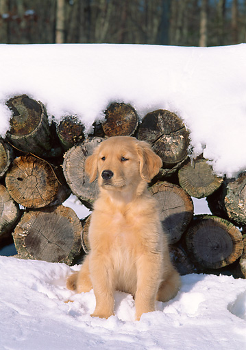 PUP 08 CE0020 01 © Kimball Stock Golden Retriever Puppy Sitting On Snow By Woodpile