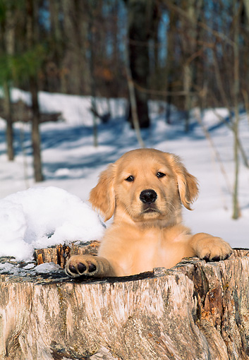 PUP 08 CE0021 01 © Kimball Stock Golden Retriever Puppy Peeking From Hollow Tree Stump In Snow By Trees