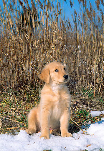 PUP 08 CE0022 01 © Kimball Stock Golden Retriever Puppy Sitting On Snow By Reeds