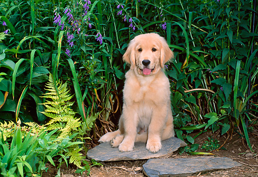 PUP 08 CE0023 01 © Kimball Stock Golden Retriever Puppy Sitting On Flagstone In Garden