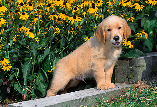 PUP 08 CE0027 01 © Kimball Stock Golden Retriever Puppy Stepping On Garden Wall By Flowers