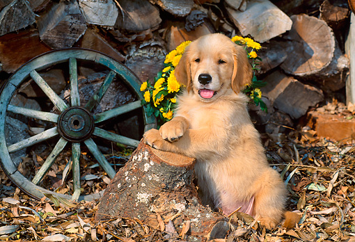 PUP 08 CE0028 01 © Kimball Stock Golden Retriever Puppy Leaning On Log By Flowers Woodpile Wagon Wheel