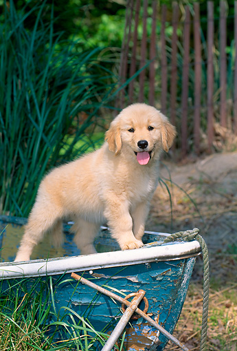 PUP 08 CE0030 01 © Kimball Stock Golden Retriever Puppy Standing In Old Rowboat By Grass And Fence