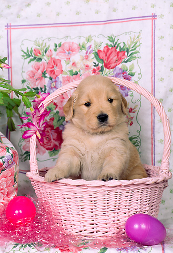 PUP 08 CE0031 01 © Kimball Stock Golden Retriever Puppy Sitting In Pink Easter Basket