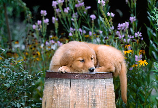 PUP 08 CE0033 01 © Kimball Stock Golden Retriever Puppy Laying On Barrel In Garden