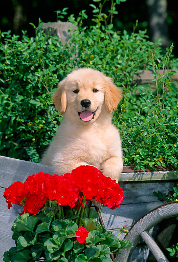 PUP 08 CE0034 01 © Kimball Stock Golden Retriever Puppy Standing In Cart By Red Flowers