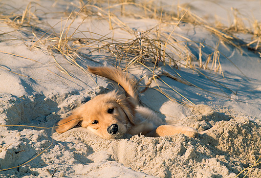PUP 08 CE0036 01 © Kimball Stock Golden Retriever Puppy Laying In Hole In Sand