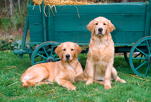 PUP 08 CE0040 01 © Kimball Stock Two Golden Retriever Puppies Sitting On Grass By Hay Wagon
