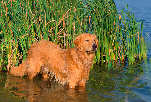 PUP 08 CE0042 01 © Kimball Stock Golden Retriever Puppy Wading In Shallow Water By Reeds