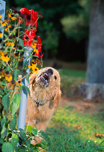PUP 08 CE0043 01 © Kimball Stock Golden Retriever Puppy Drinking From Spigot By Flowers