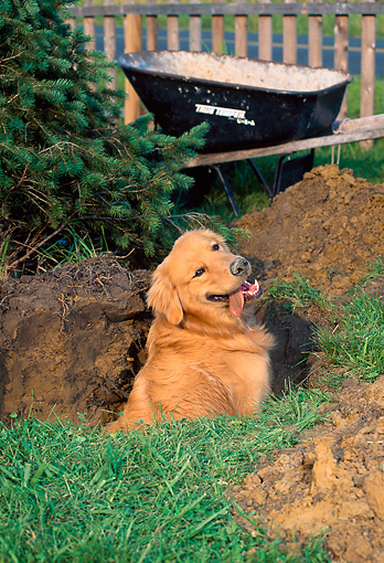PUP 08 CE0044 01 © Kimball Stock Golden Retriever Puppy Sitting In Large Hole By Tree And Wheelbarrow