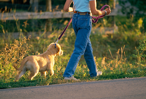 PUP 08 DB0001 01 © Kimball Stock Golden Retriever Puppy Walking With Owner On Leash
