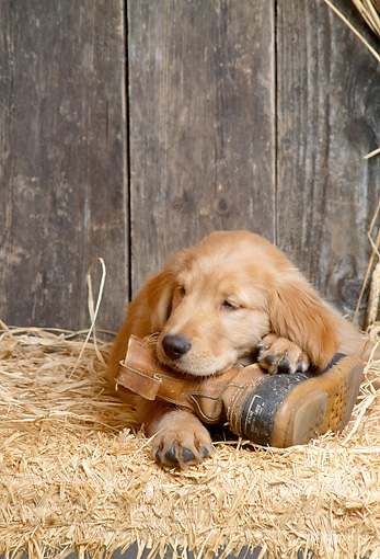 PUP 08 DC0003 01 © Kimball Stock Golden Retriever Puppy Laying On Boot In Barn