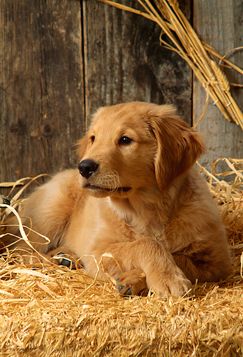 PUP 08 DC0004 01 © Kimball Stock Portrait Of Golden Retriever Puppy Laying On Hay In Barn