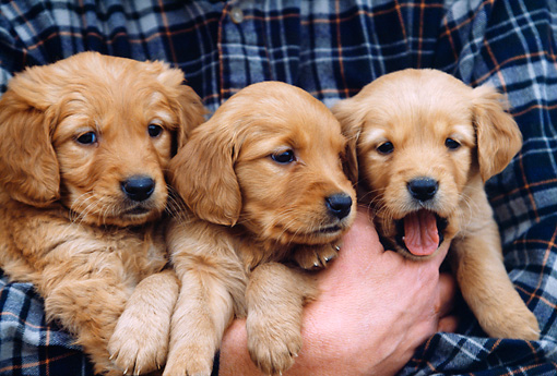 PUP 08 DS0001 01 © Kimball Stock Close-Up Of Three Golden Retrievers Puppies Being Held In Arms