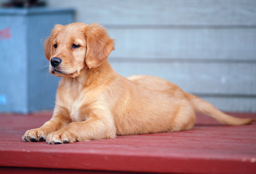 PUP 08 DS0003 01 © Kimball Stock Golden Retriever Puppy Laying On Red Porch