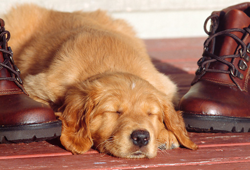 PUP 08 DS0004 01 © Kimball Stock Golden Retriever Puppy Sleeping Between Hiking Boots On Red Porch