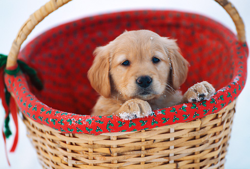 PUP 08 DS0005 01 © Kimball Stock Golden Retriever Puppy Sitting In Wicker Basket In Snow