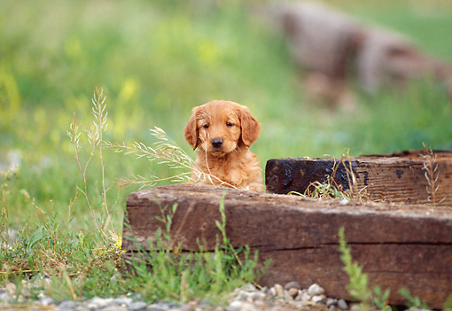 PUP 08 DS0008 01 © Kimball Stock Golden Retriever Puppy Sitting By Wooden Beams