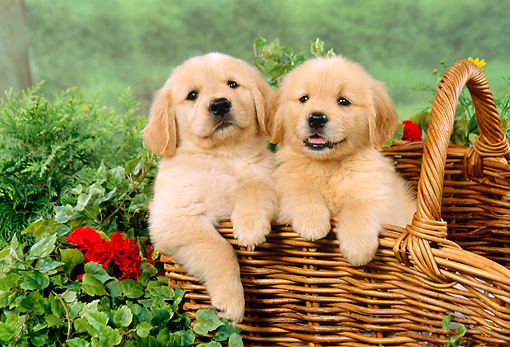 Puppies In A Basket Pup 08 fa0002 01 - two golden retriever puppies ...