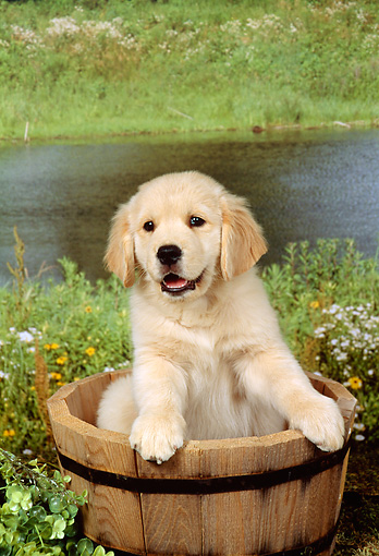 PUP 08 FA0003 01 © Kimball Stock Golden Retriever Puppy Sitting In Wooden Bucket By Pond
