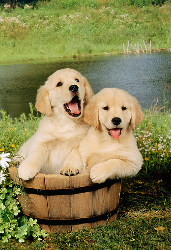 PUP 08 FA0004 01 © Kimball Stock Two Golden Retriever Puppies Sitting In Wooden Bucket By Pond