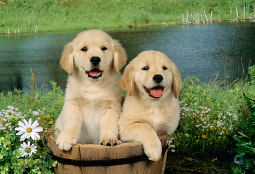 PUP 08 FA0005 01 © Kimball Stock Two Golden Retriever Puppies Sitting In Wooden Bucket By Pond