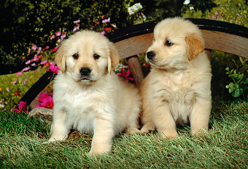 PUP 08 FA0008 01 © Kimball Stock Two Golden Retriever Puppies Sitting By Wagon Wheel