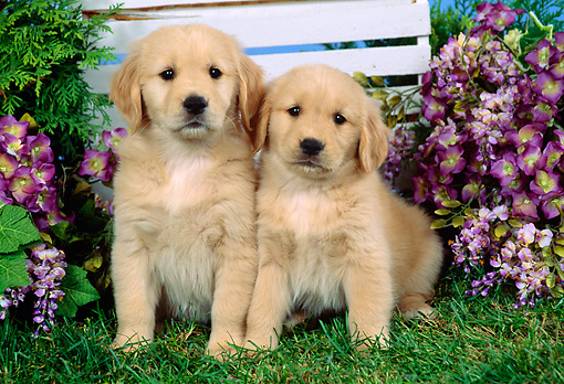PUP 08 FA0009 01 © Kimball Stock Two Golden Retriever Puppies Sitting By Trellis And Purple Flowers